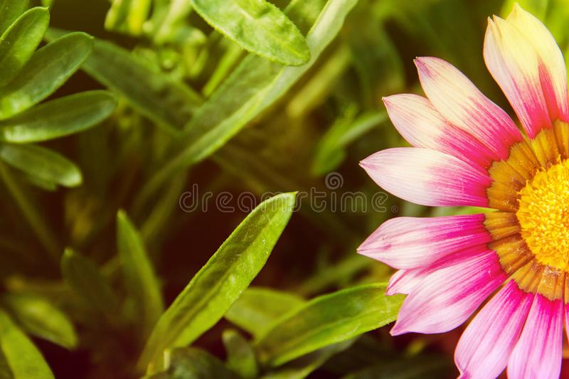 De productie en de cultuur van bloemen De close-up van bloemgazania stock foto's