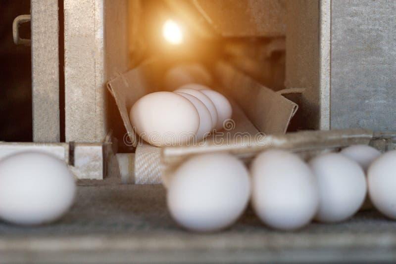 De productie van kippeneieren, gevogelte, kippeneieren gaat door de transportband voor het verdere sorteren, close-up, vervoerder royalty-vrije stock foto