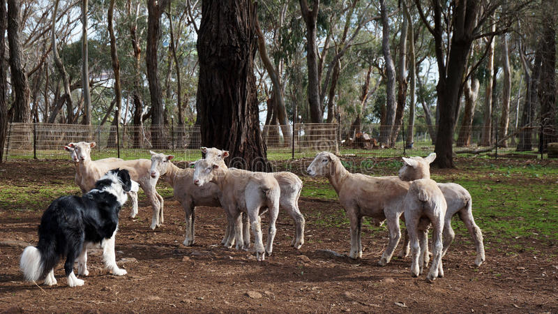 De proeven van de schapenhond royalty-vrije stock afbeeldingen