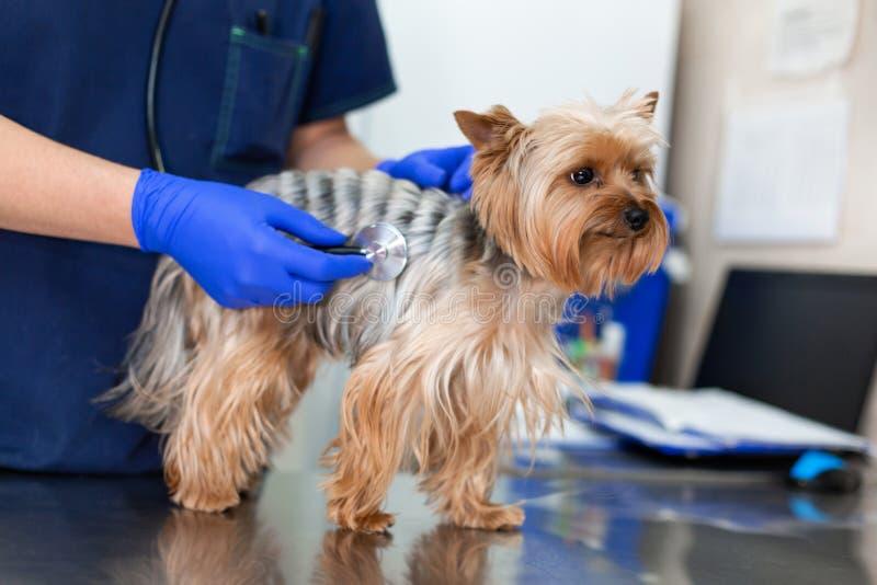 De professionele dierenarts arts onderzoekt een klein hondras Yorkshire Terrier gebruikend een stethoscoop Een jonge mannelijke d stock foto