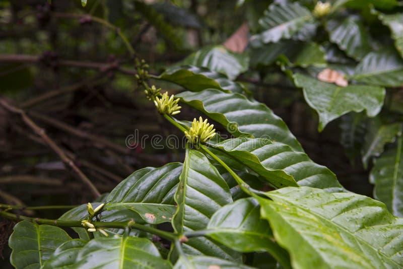 De Provincie van de koffie Plant stock foto's