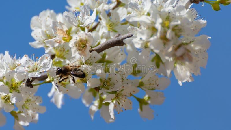 De pruimboom bloeide met witte bloemen en bij verzamelend stuifmeel op zijn bloemen Typische natuurlijke de lenteachtergrond royalty-vrije stock afbeeldingen