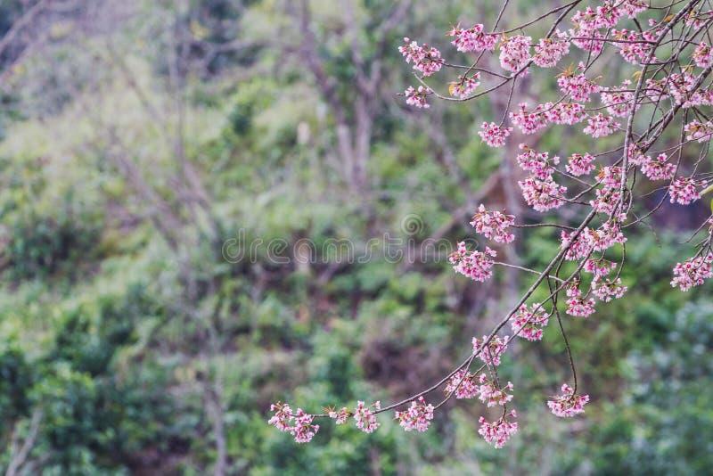 De Prunus cerasoides bloem is bloeiend als achtergrond stock afbeeldingen