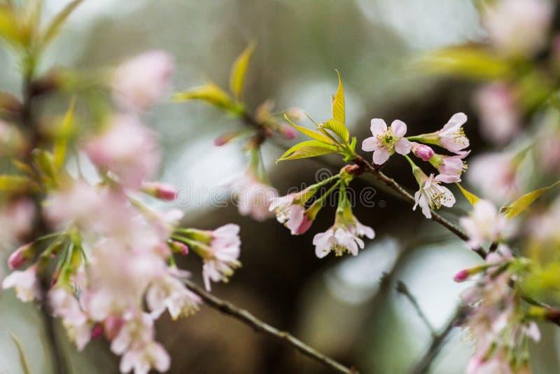 De Prunus cerasoides bloem kwam plotseling toen het de winterweer met het bos tot bloei als achtergrond royalty-vrije stock foto