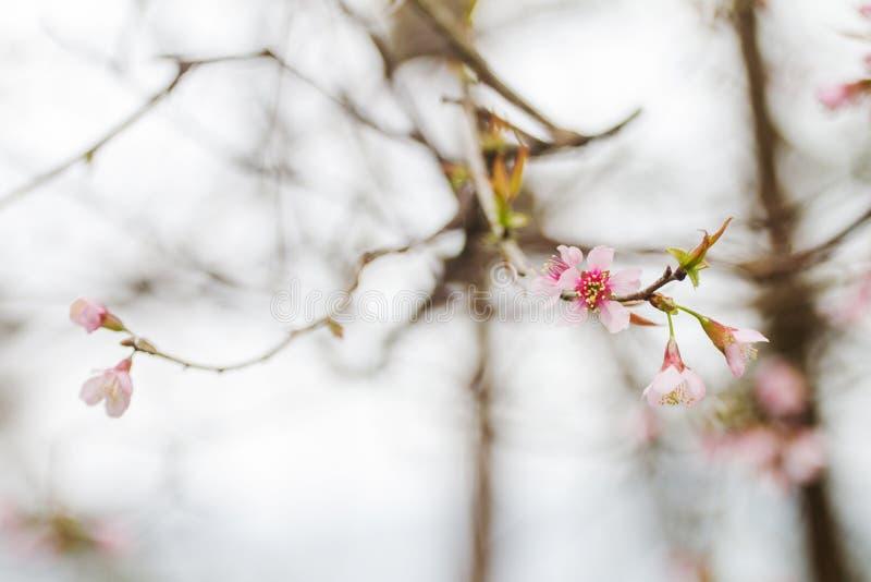 De Prunus cerasoides bloem vóór vergankelijk is toen het de winterweer met hout op de achtergrond beëindigde royalty-vrije stock foto