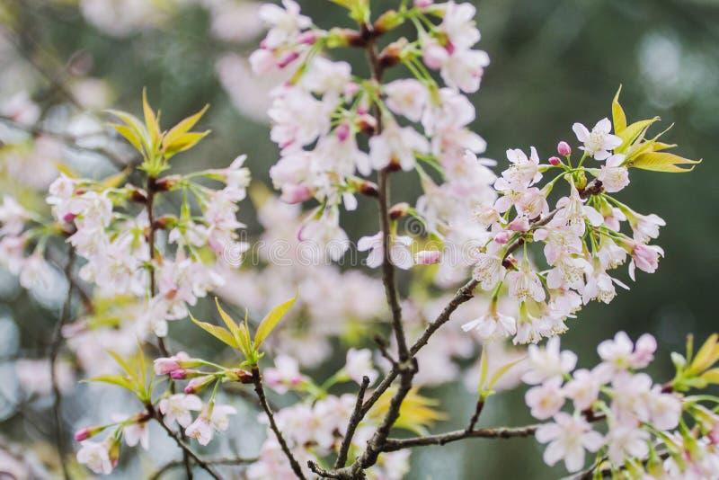 De Prunus cerasoides bloem was bloeiend wanneer het koude weer het bos als achtergrond is royalty-vrije stock afbeeldingen