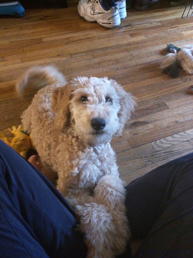 De puppy kunnen Schoenen negeren royalty-vrije stock afbeeldingen