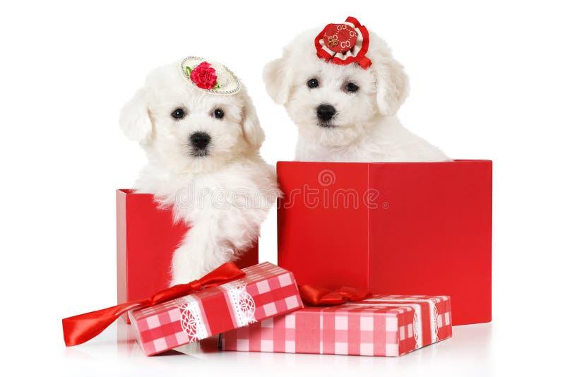 De puppy van Bichonfrise in een giftdoos stock fotografie