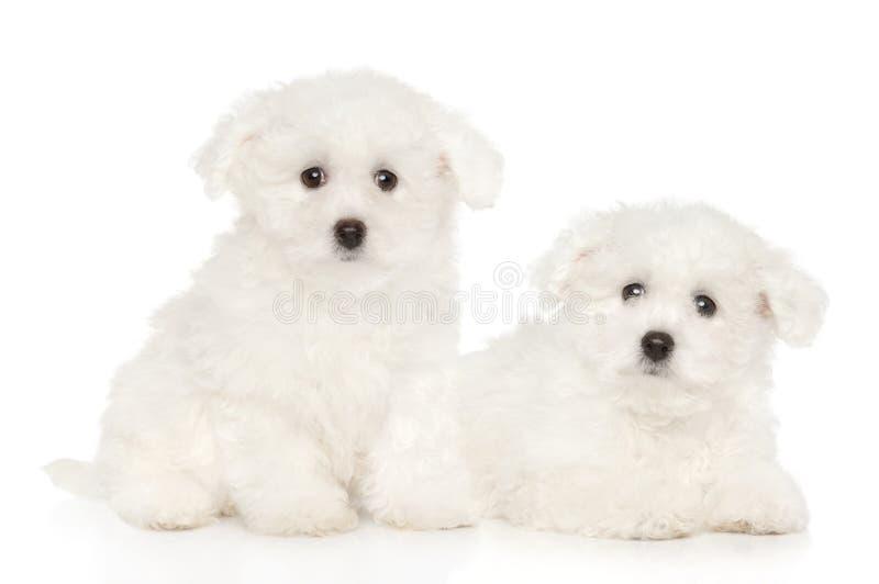 De puppy van Bichonfrise op witte achtergrond royalty-vrije stock fotografie
