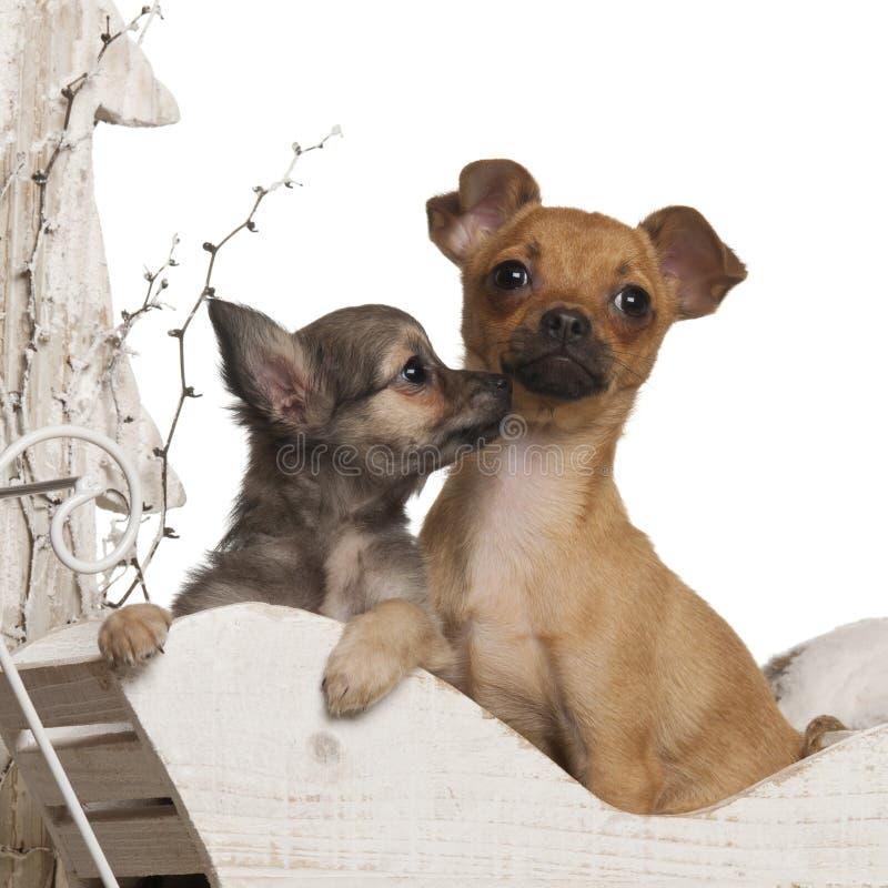 De puppy van Chihuahua, 4 maanden en 3 maanden oud royalty-vrije stock afbeeldingen