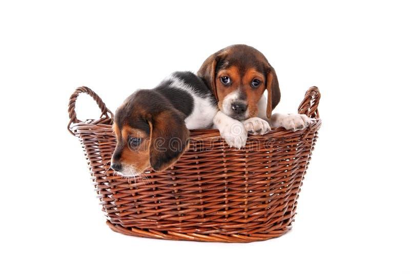 De puppy van de brak in een mand stock foto
