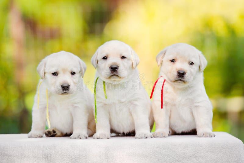 De puppy van de labrador stock afbeeldingen