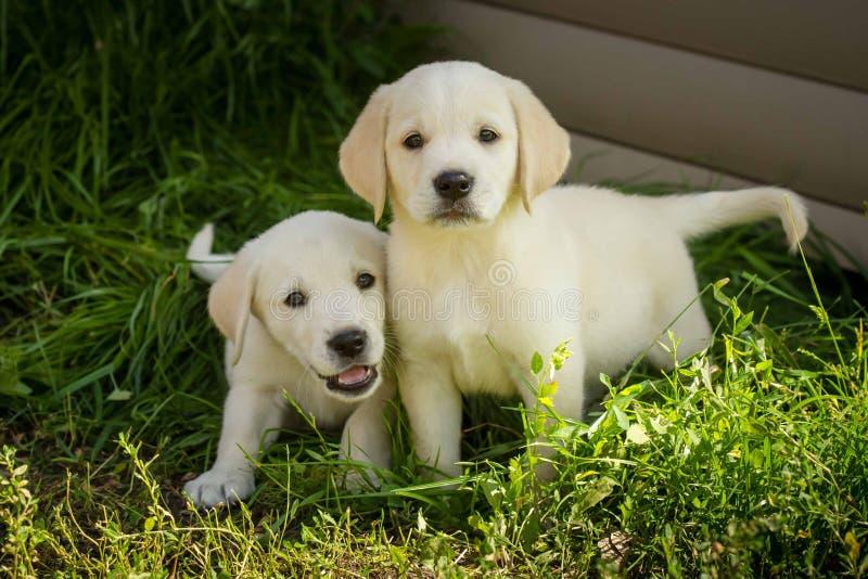 De puppy van de labrador stock foto's