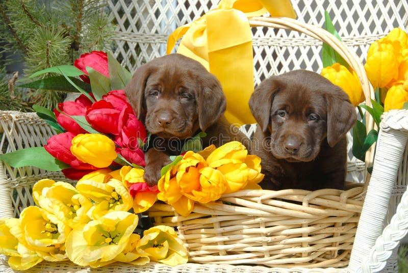 De Puppy van de lente royalty-vrije stock fotografie