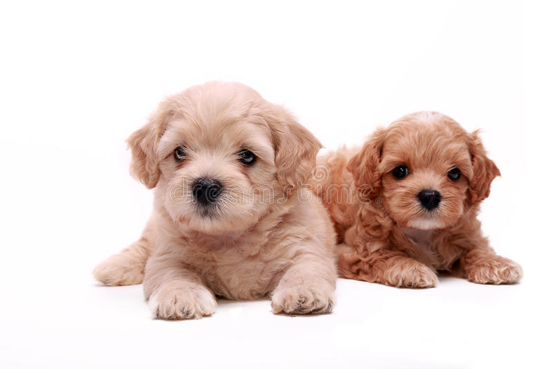 De puppy van de poedel royalty-vrije stock fotografie