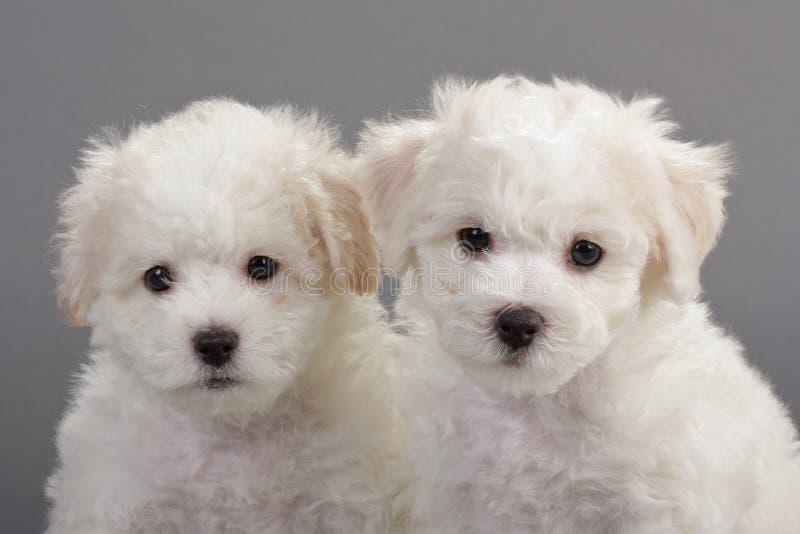 De puppy van Frise van Bichon stock afbeelding