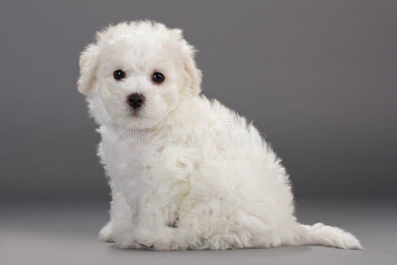De puppy van Frise van Bichon royalty-vrije stock afbeelding