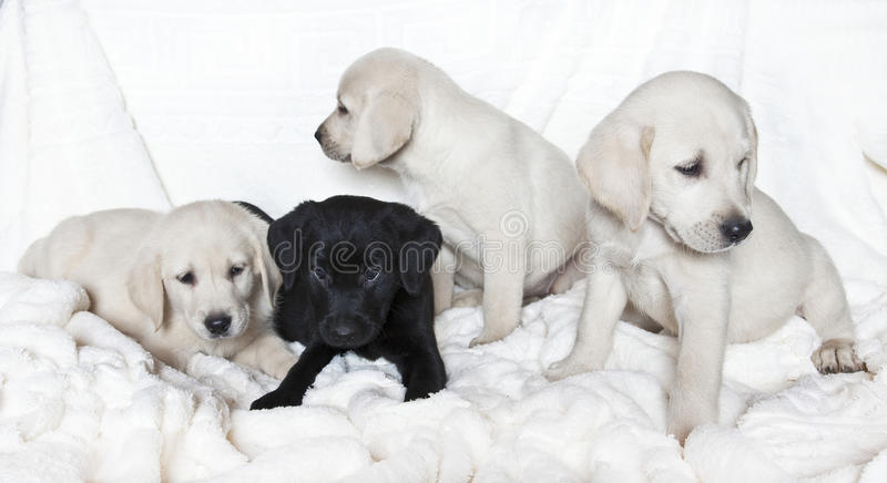De puppy van Labrador stock fotografie