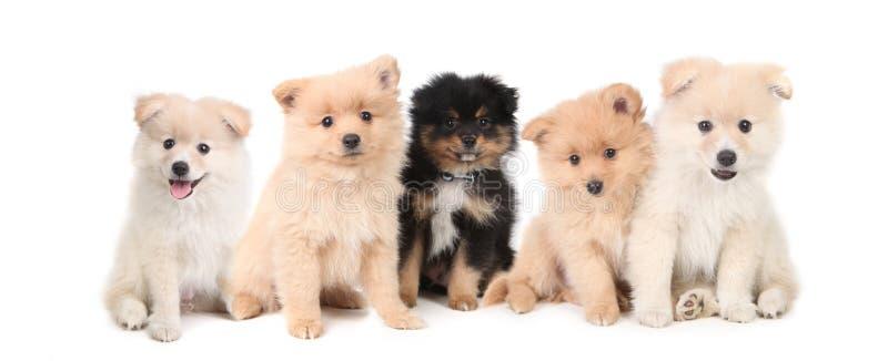 De Puppy van Pomeranian die op Witte Achtergrond worden opgesteld royalty-vrije stock fotografie