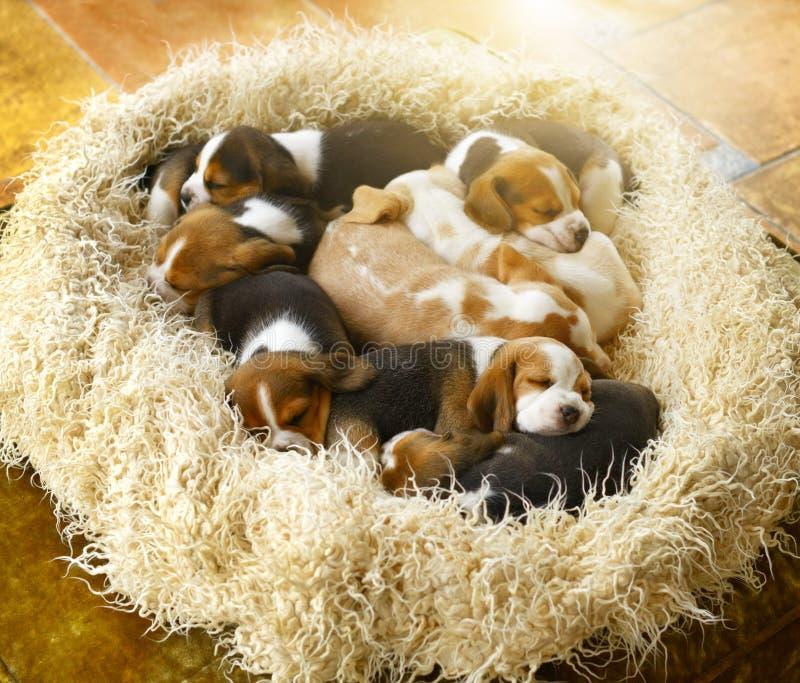 De puppy van de slaapbrak royalty-vrije stock afbeelding