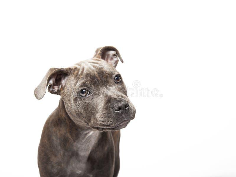 De puppyhond van pitbull stock foto