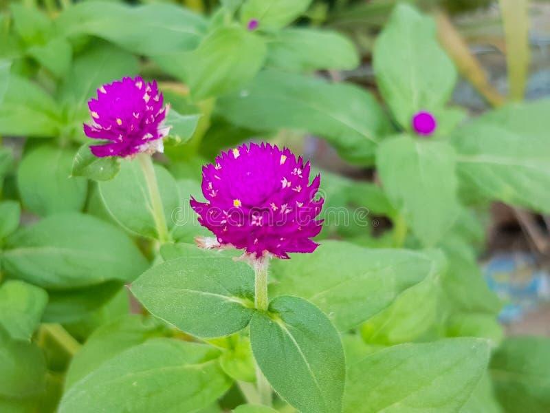 De purpere amarant in de openbare tuin is bloeiend royalty-vrije stock fotografie