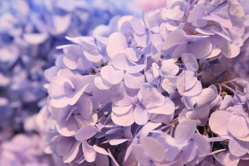 De purpere blauwe bos van Hydrangea hortensiabloemen royalty-vrije stock afbeeldingen
