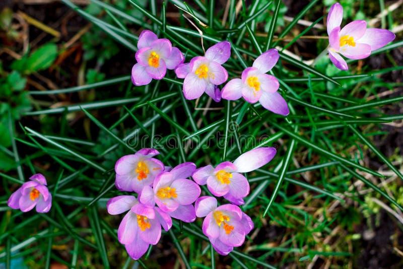 De purpere bloei van krokusbloemen in de lente royalty-vrije stock foto