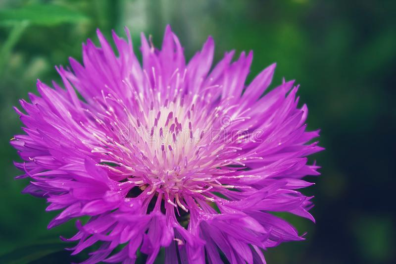 De purpere bloem is dicht Tedere bloem royalty-vrije stock fotografie