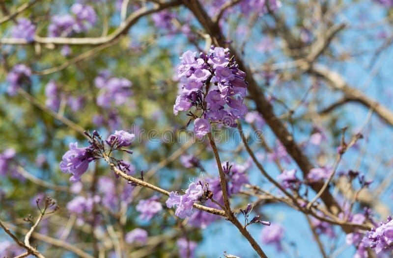 De purpere bloem die van Jacarandaobtusifolia op een boom bloeien stock foto's