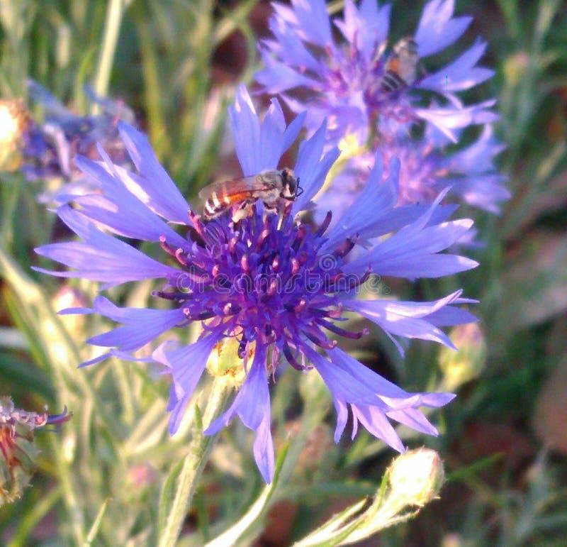 De purpere bloem met bij stock afbeeldingen