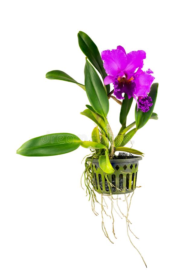 De purpere bloem van de cattleyaorchidee royalty-vrije stock afbeelding