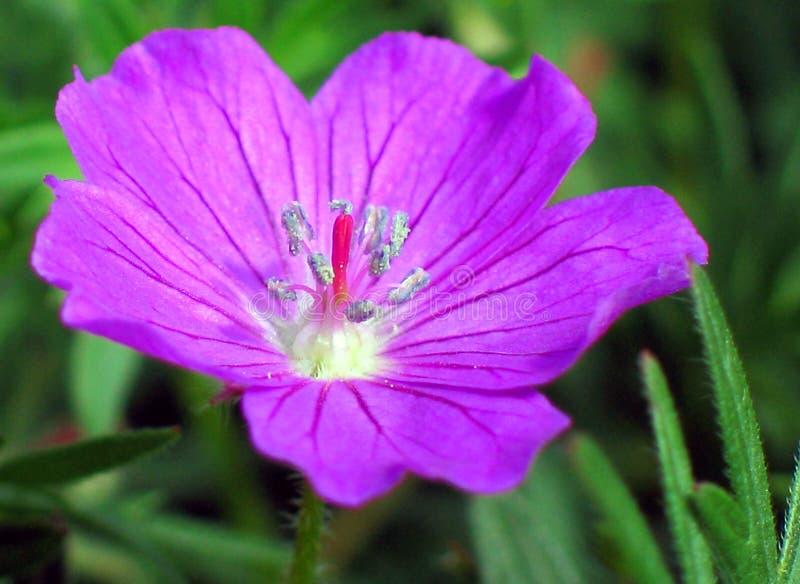 De purpere Bloem van de Geranium stock foto's