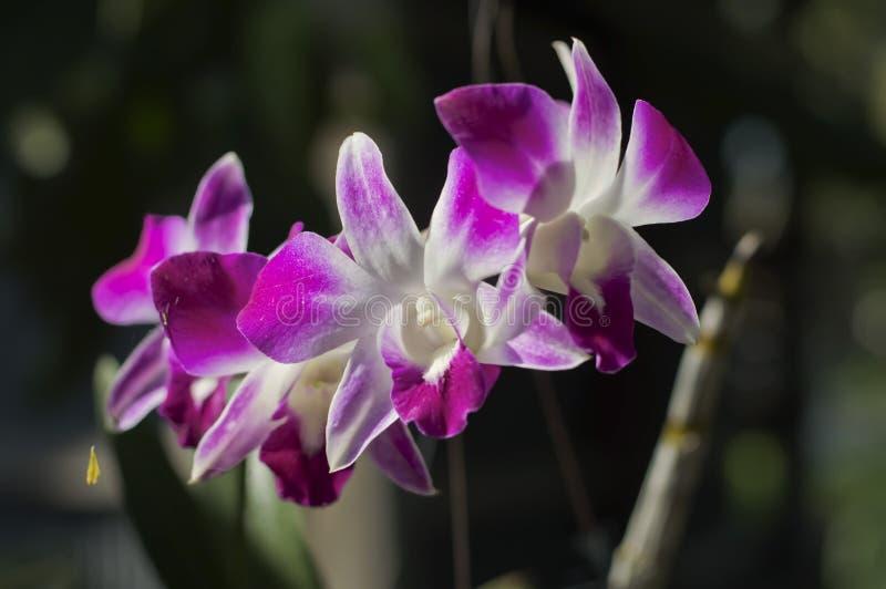 De purpere Bloem van de Orchidee royalty-vrije stock afbeelding