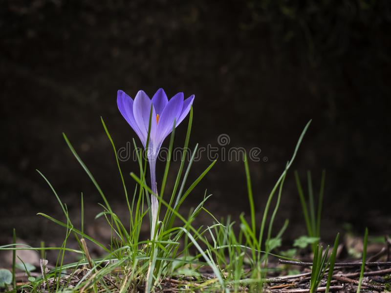 De purpere bloem van de de lentekrokus in profiel, met copyspace Zichtbare heldere sinaasappel stamens stock foto