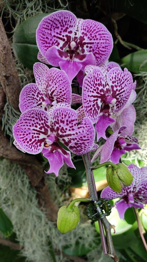 De purpere bloem van de mottenorchidee met bladeren stock foto's