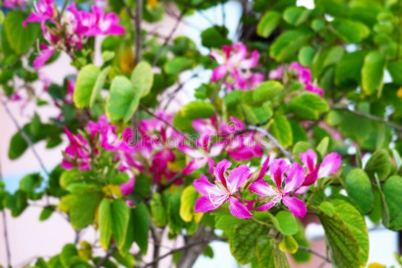 De purpere bloemen die van de Orchideeboom in de groene bladeren van het tuinonduidelijke beeld bloeien stock fotografie