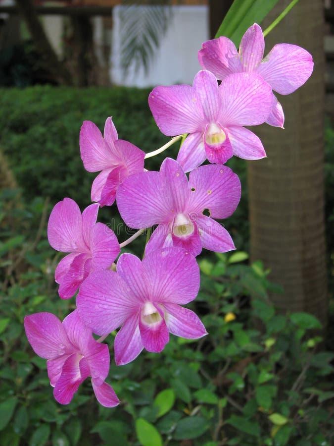 De purpere bloemen van de dendrobiumorchidee royalty-vrije stock foto's