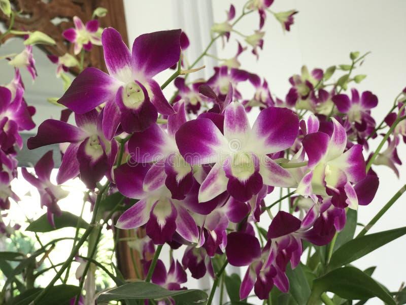 De purpere bloemen van de dendrobiumorchidee stock afbeelding