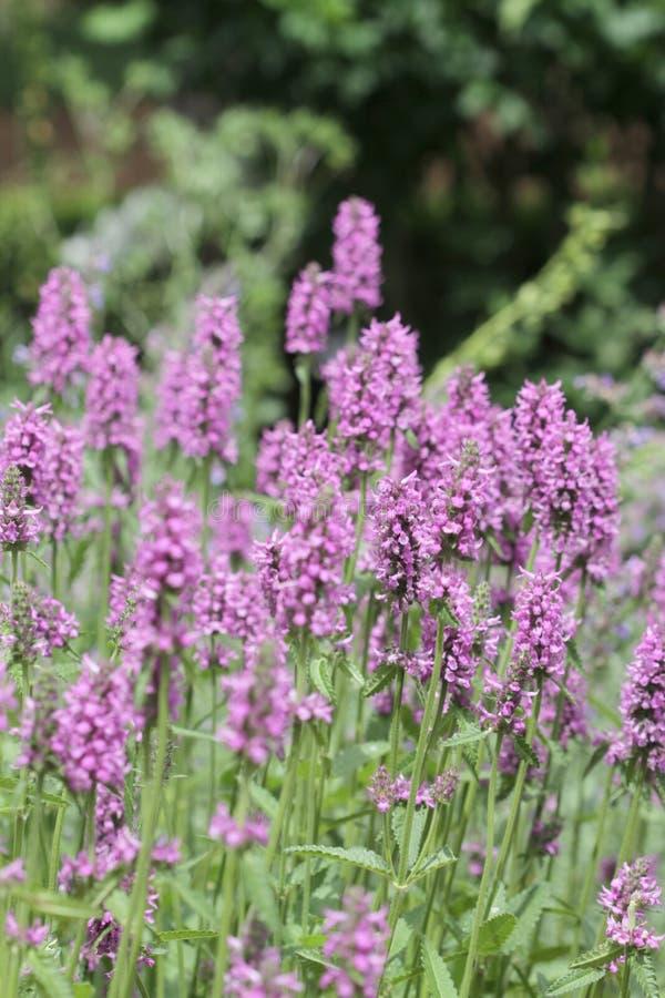 De purpere bloemen van de Digitalis stock fotografie