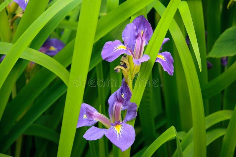 De purpere Bloemen van de Iris (germanica van de Iris) stock foto