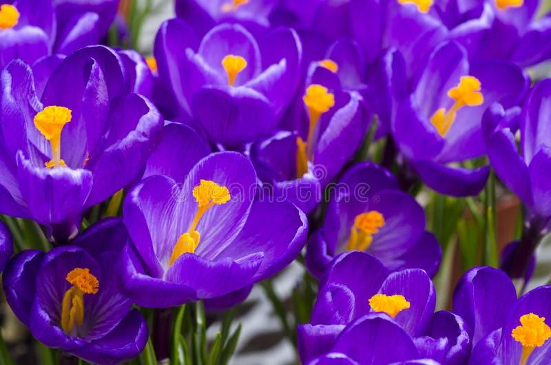 De purpere Bloemen van de Krokus royalty-vrije stock afbeelding
