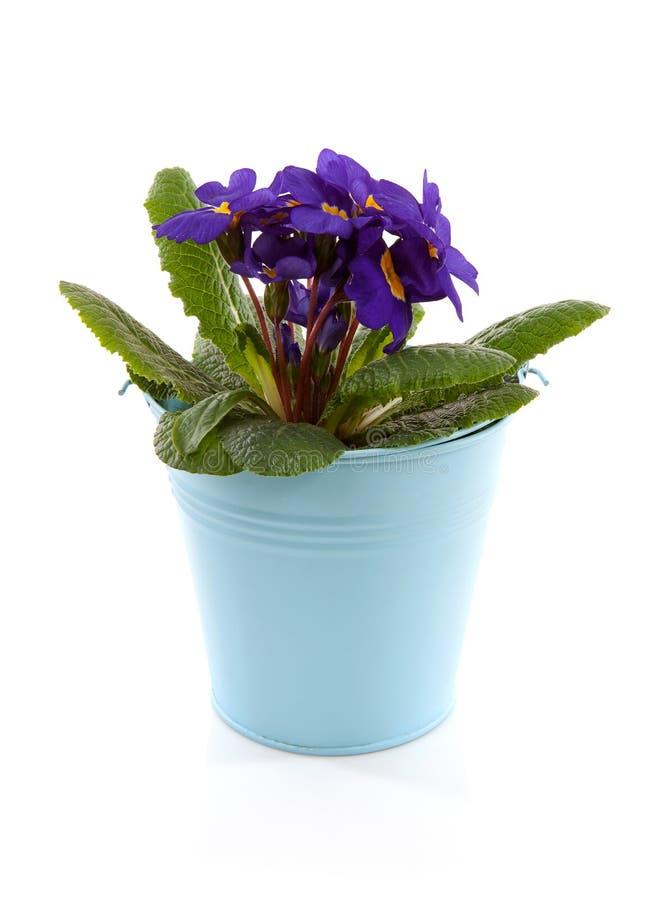 De purpere bloemen van de Primula in blauwe emmer royalty-vrije stock foto's