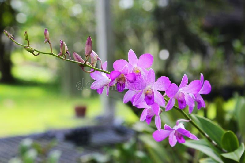De purpere bloemen van de dendrobiumorchidee stock foto's