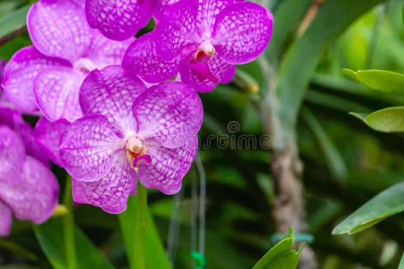 De purpere bloemen van de dendrobiumorchidee van Phalaenopsis of van de Mot in tropisch orchideelandbouwbedrijf royalty-vrije stock afbeeldingen