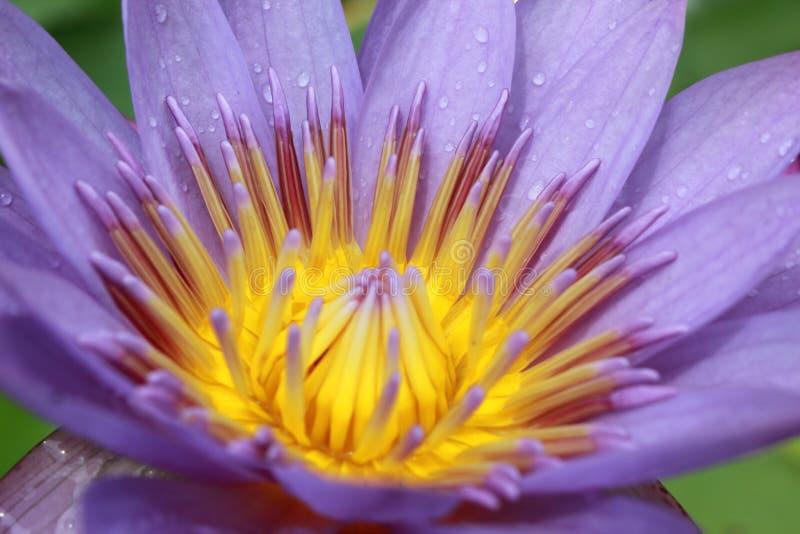 De purpere Bloemen van Lotus royalty-vrije stock afbeelding