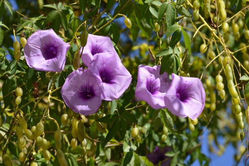 De purpere bloemen van de ochtendglorie stock foto