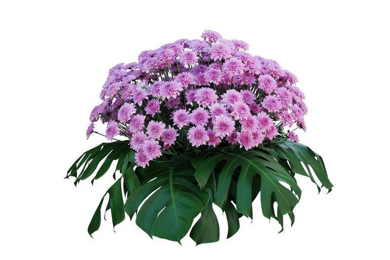 De purpere Chrysant bloeit met tropische bladeren Monstera, sier het podium bloemendieregeling van de aardstruik op wit wordt geï stock foto's
