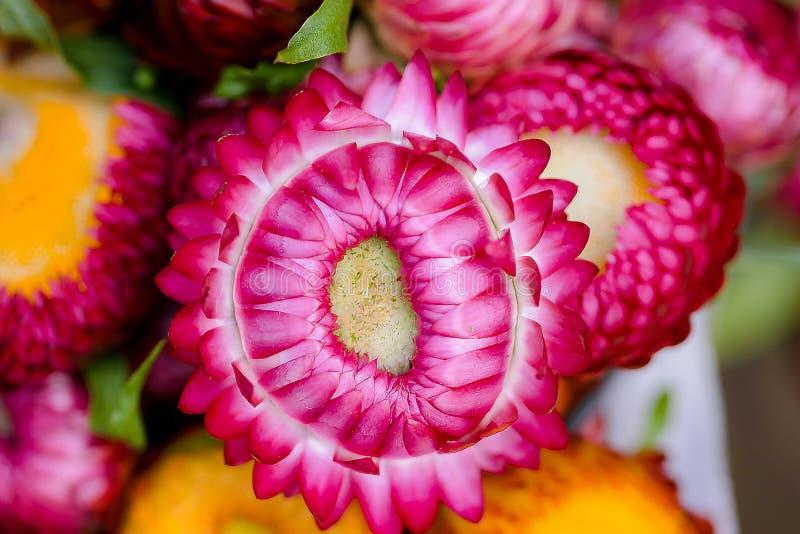 De purpere Chrysant is populair in de cultuur van Thailand stock fotografie
