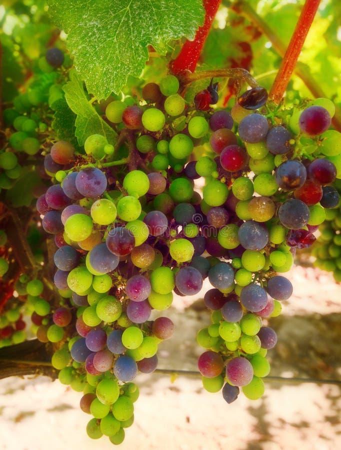 De purpere en Groene Druiven van de Wijn stock foto